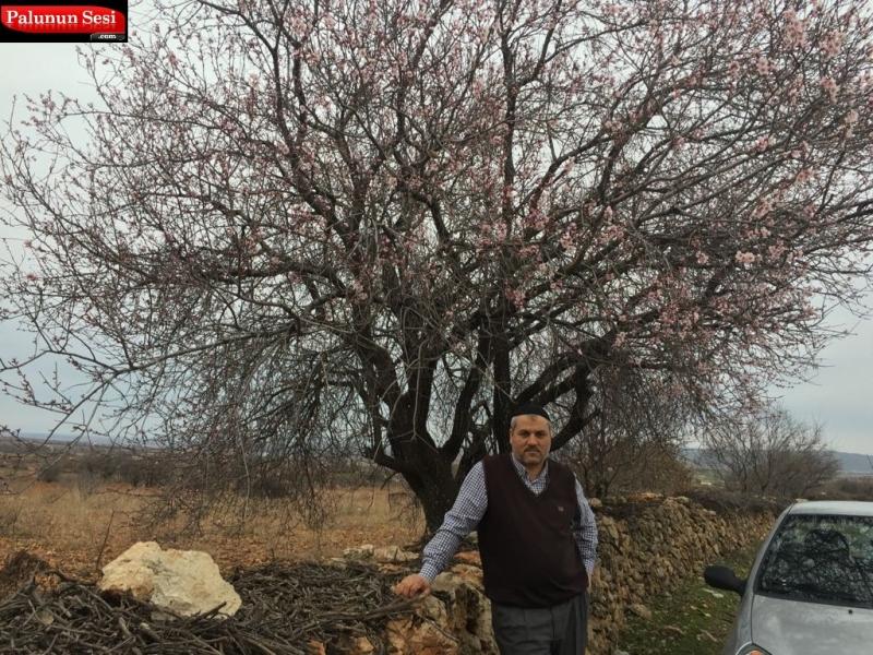 Bahar Gelmeden Badem Ağaçları Çiçek Açtı