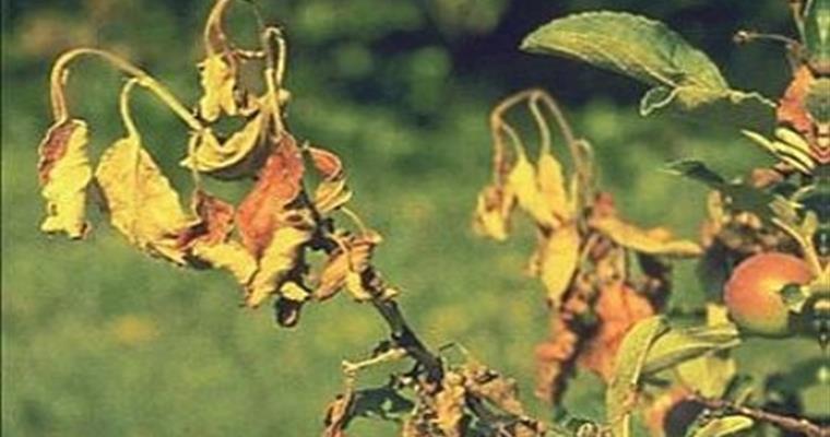 Elazığ İl Tarım Uyardı: Ağaçlarda Ateş Yanıklığı Hastalığına Dikkat