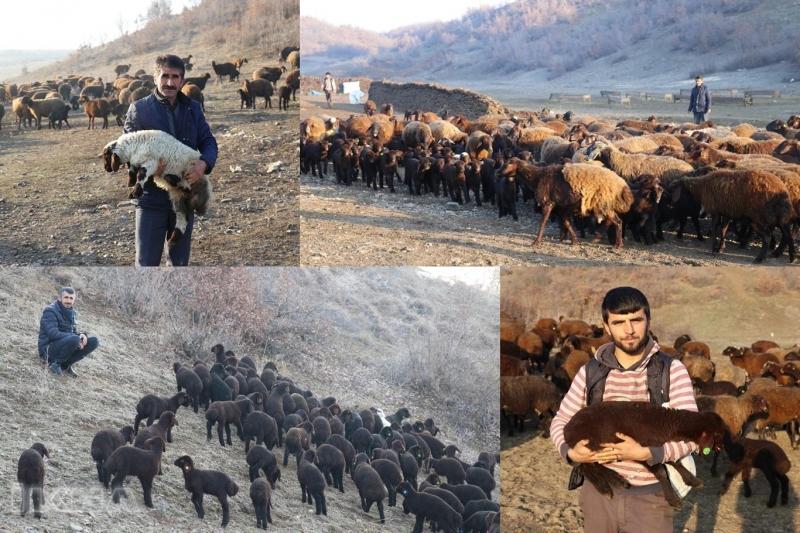 Koyun yetiştiricilerin